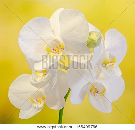 White Branch Orchid Flowers With Buds, Orchidaceae, Phalaenopsis