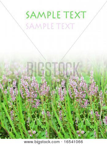 The purple flower and grassplot of a garden .