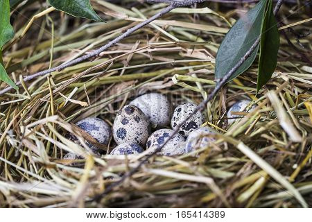 Quail eggs in a straw nest in the spring