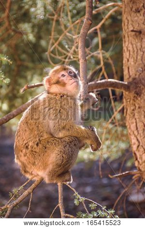 Wildlife shot of a barbary macaque monkey sitting in a tree looking towards the sky in the National Park of Ifrane, Morocco.