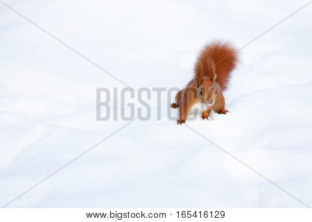 Cute red squirrel looking for food on the snow in winter