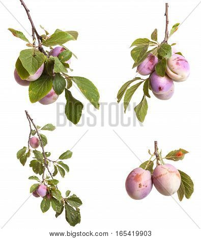 Plum Branch With Berries And Leaves Isolated On White Background