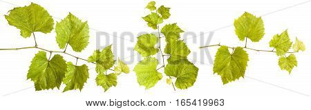 Young Vine Grapes. Isolated On White Background