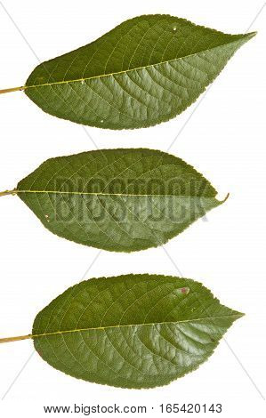 Cherry Tree Leaf Isolated On White Background