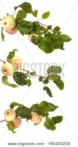 Ripe Apple On A Branch With Leaves Isolated On White Background