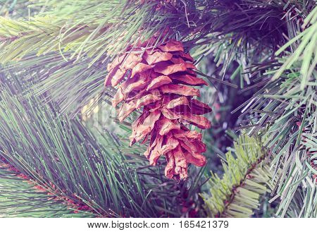 Brown Pine Cone Hanging, Close Up, Fir Tree