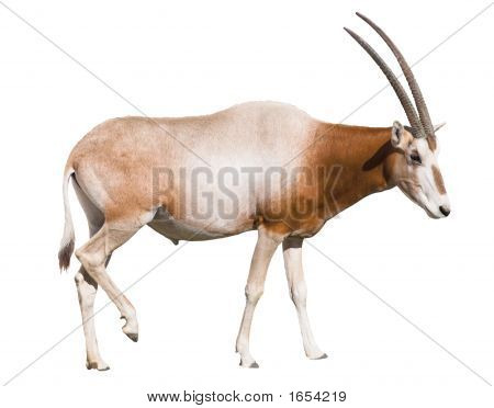 Scimitar Horned Oryx (Damma) Isolated Over White Background