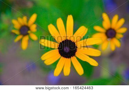Flowers Of Rudbeckia Rudbeckia Close Up