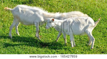 Homemade two goats on a background of grass.