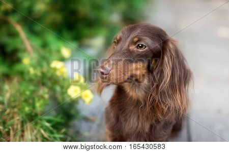 Miniature dachshund lawn dog smile in outdoor