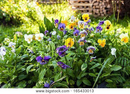 Beautiful Pansies or Violas growing on the flowerbed in garden