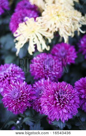 the chrysanthemum    of the garden.