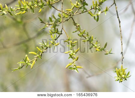 Many birch buds blossom in spring closeup