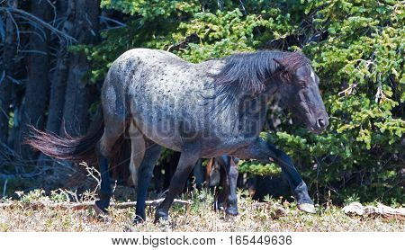Wild Horse Blue Roan Band Stallion in the Pryor Mountains Wild Horse Range in Montana - Wyoming USA.