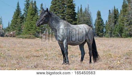 Wild Horse Blue Roan colored Band Stallion in the Pryor Mountains Wild Horse Range in Montana - Wyoming USA.