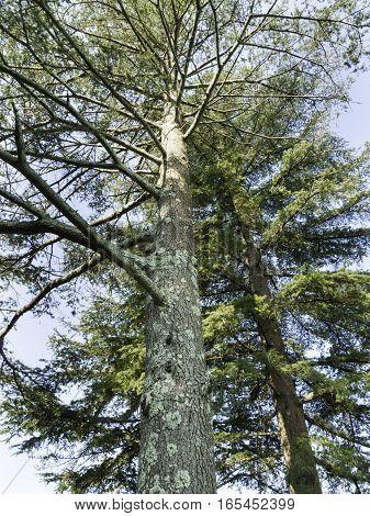 Two Cedar of Lebanon trees at Haskell Gardens in New Bedford Massachusetts