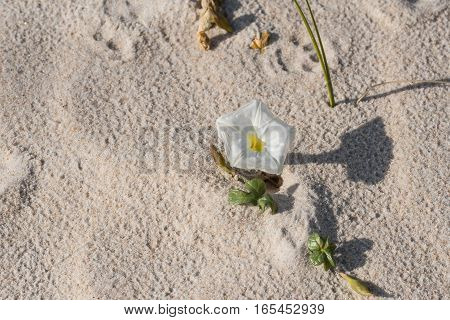 Flower in the Dunes with its shadow