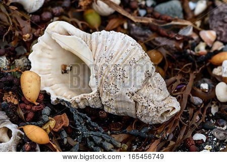 sea shell polished by waves on a rocky beach