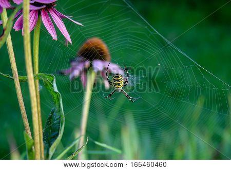 Banded Garden Spider on grassy background .
