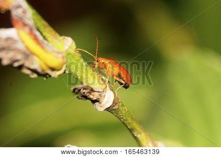 Golden Orange tiny bug on a plant stem