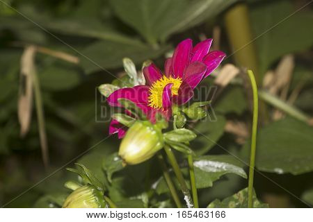 Magenta colored with yellow core like sunflower