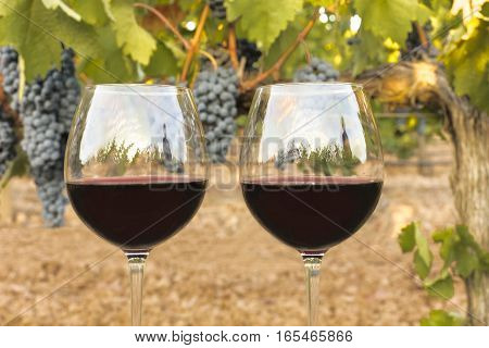 A photo of two glasses of red wine in a vineyard at harvest time, with hanging branches of grapes