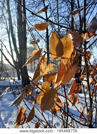 dead leaves in the snow against the rising sun. a gentle winter morning