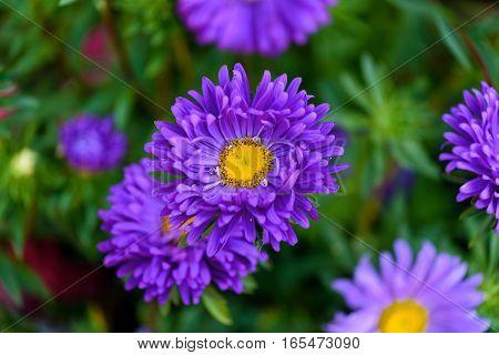 Aster flower closeup summer sunny day .
