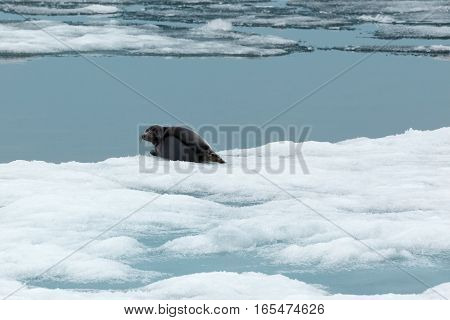 Spring landscape with baikal seal lying on block of ice in natural environment looking at the camera