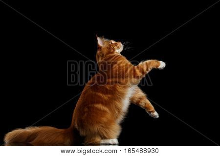 Amazing Tabby Ginger Maine Coon Cat Sitting on hind legs and reaching up with Furry Tail Isolated on Black Background, Side view