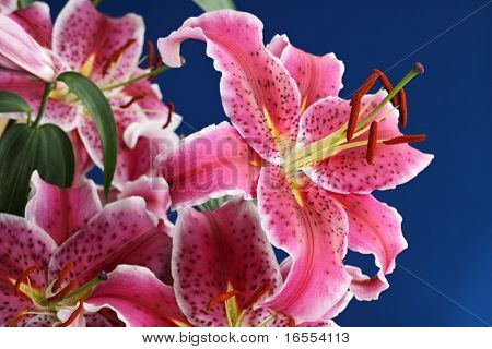Bouquet of stargazer lily isolated on blue background focus on stamen