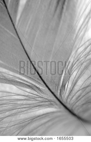 B&W Feather Closeup