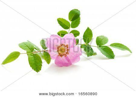 Fresh Rosebush on the White