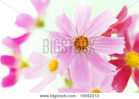 Colorful Daisy,Closeup