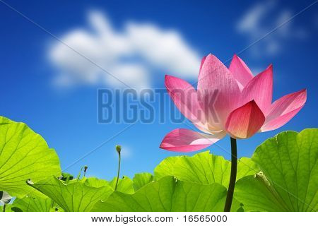 Lotus against perfect sky