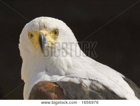 African Fish Eagle Portrait