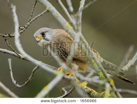 Kestrel In A Tree