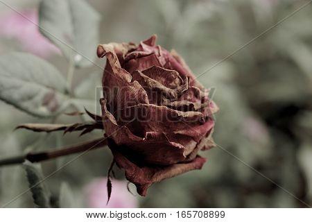 Primer plano de una rosa mientras se marchita