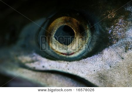 Extreme close-up of a fish eye - Shallow dept of field focus on the eye  itself