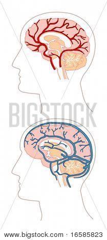 Anatomy - brain 3