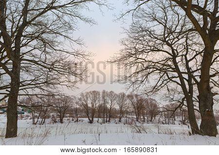 Oak Grove In Winter. All In The Snow