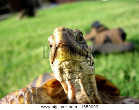 Ornateboxturtle