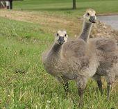Gosling Twins