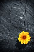 picture of fraction  - Fraction of a black schist wall with with a single yellow flower - JPG