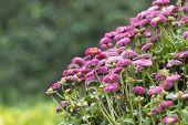 foto of feverfew  - the daisy in the garden - JPG