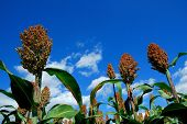 stock photo of sorghum  - Green sorghum with blue sky background - JPG