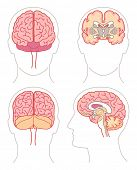 image of frontal lobe  - Anatomy  - JPG