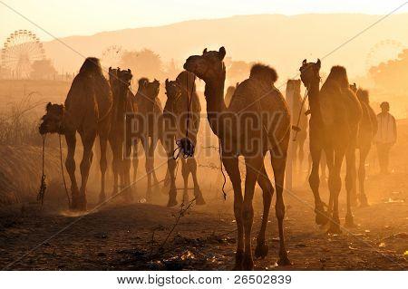 Camels In Pushkar Fair