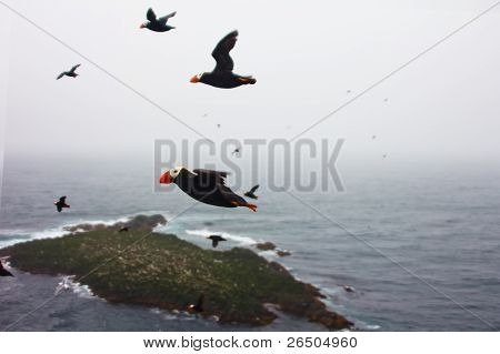 puffin flight (Fratercula)