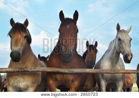 Tres caballos y su rebaño